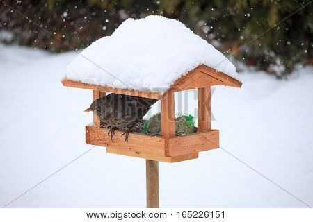 Common Blackbird Blackbird In Simple Bird Feeder