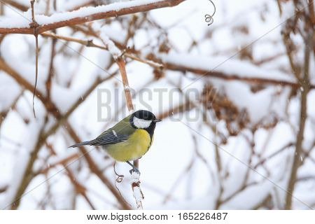 Beautiful Small Bird Great Tit In Winter