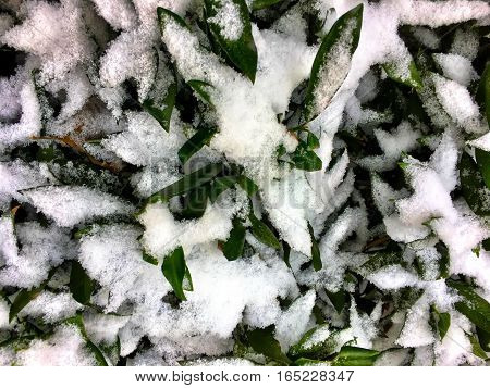 Snow On A Bush