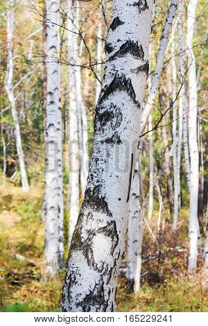 The trunk of a young birch in the forest