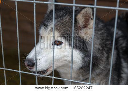 Sad Siberian Husky in a cage in Husky parks