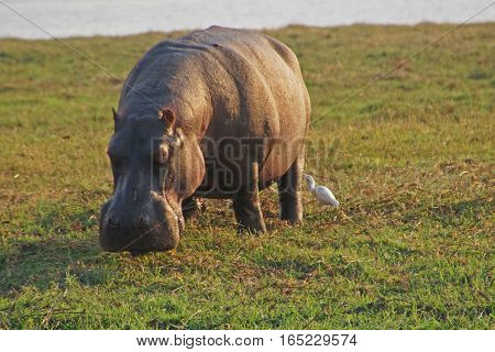 a big hippopotamus grazing on a grass field and a small white bird looking for parasites on hippos leg