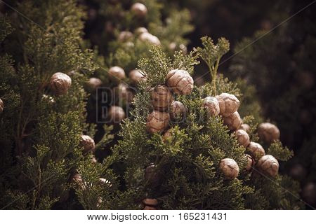 Close Up Photo Of The Mediterranean Cypress Tree Cones