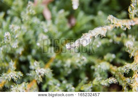 Frost water drops on juniper tree macro