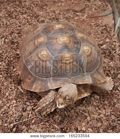 The head and shell African Spurred Tortoise (Geochelone sulcata)