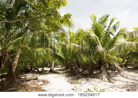 Green palm trees in the jungle of Seychelles islands