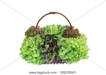 Fresh salad vegetable green oak red oak butterhead lettuce in basket on white background