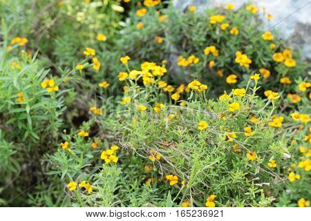 Yellow daisy flower in nature at garden