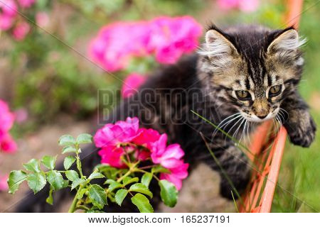 kitten and flower, kitten walks, kitty, kitten and pink flowers