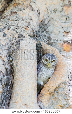 Burrowing Owl on the tree hole wild animal