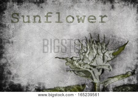 A sunflower bud is rendered in muted colors as a botanical sketch