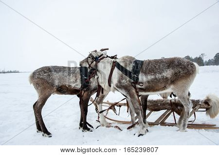 Reindeers in a team decorated with red. Winter time.