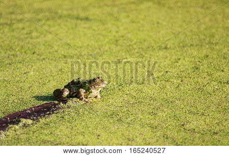 Adult frog in the green marsh summer