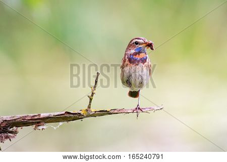 The Bluethroat on the Perch. A Bluethroat (Luscinia svecica) perching on a branch with green spring nature as a background.