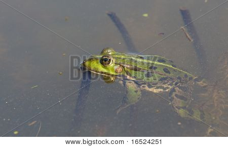 Detailed Frog
