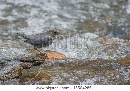 American Dipper Observing Rapids for a Meal