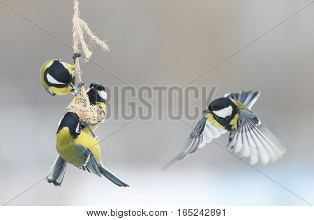 Tits in the Park in the winter to fly and sit on the feeder
