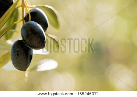 warm summer light on a group of three olives hanging from a tree in a mediterranean country negative space for words and text on a bokeh background