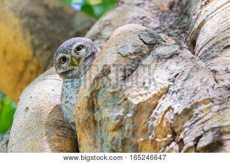 Brown owl on tree hole wild animal in natural deep forest