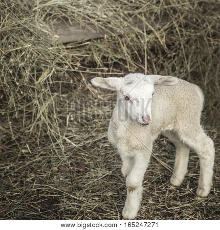Small baby lamb on a straw close up