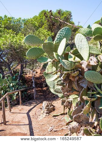 Plant prickly pear along the hiking trail on the island of Elba