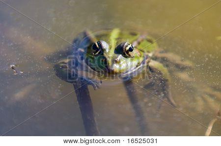 Detailes Frog