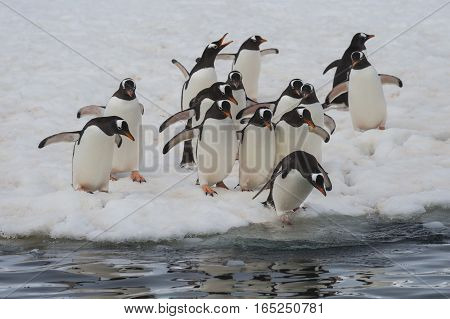 Gentoo Penguins runs over ice in Antarctica