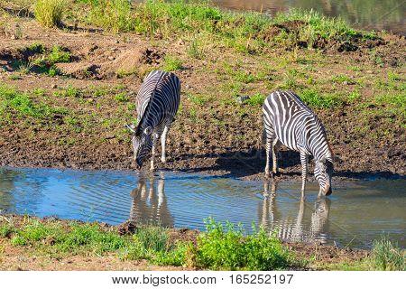 Herd Of Zebras Drinking From Shingwedzi River In The Kruger National Park, Major Travel Destination