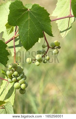 Green grapes ripen on branch of the vine on hot summer day vertical photo closeup
