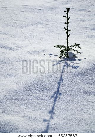 seasonal background small tree with long shadow on snow
