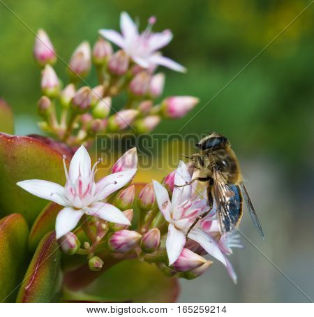 Honeybee Perched on a Jade Plant in a hotel garden in Madeira