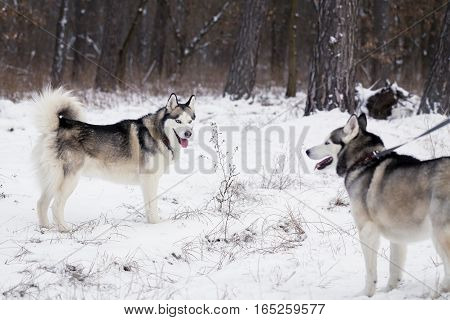 Two Siberian husky on a walk in the forest. One of the dogs on a leash.