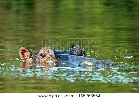 Hippopotamus (Hippopotamus Amphibius) in the Water looking over the Surface. Lake Mburo Uganda