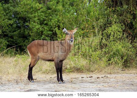 Waterbuck (Kobus ellipsiprymnus). Queen Elisabeth National Park Uganda
