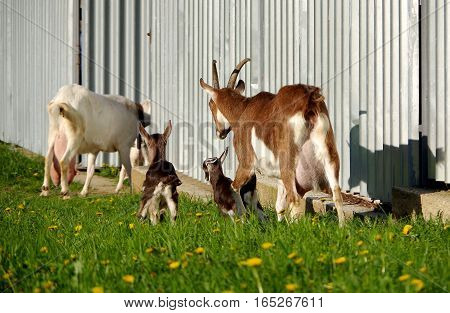 Goat mother and small goat on the green grass near the fence