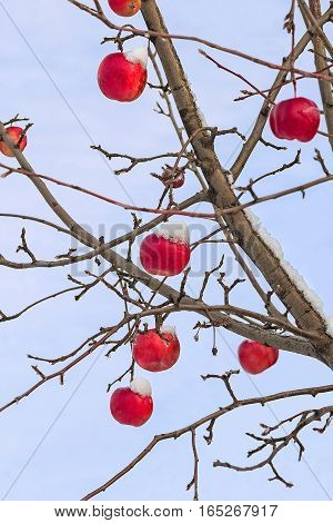 Icy red apples on the branches of apple-tree on the background of blue sky on a cold winter day