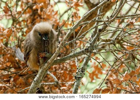 Mousebird Sitting Between The Branches