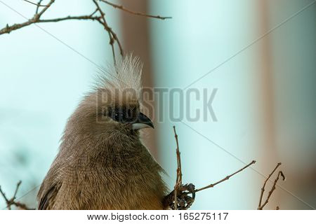 Mousebird Clinging To The Branches