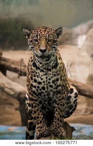 full body leopard panther looking eyes contact