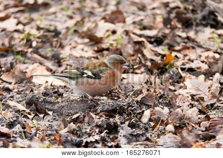 Chaffinch (Fringilla coelebs) with seed in beak. Brightly coloured male bird in the finch family (Fringillidae) feeding on the ground looking for seeds