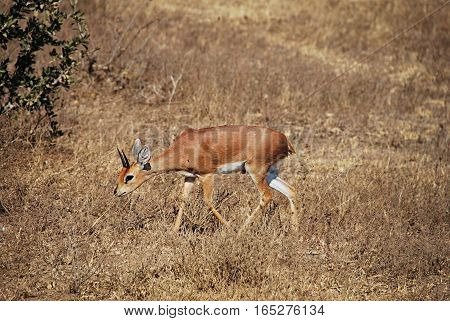 Impala eating grass in Kruger. South Africa