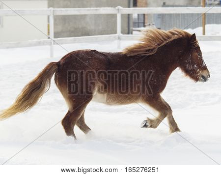 red shaggy pony standing on the snow in a paddock near the white wooden fence