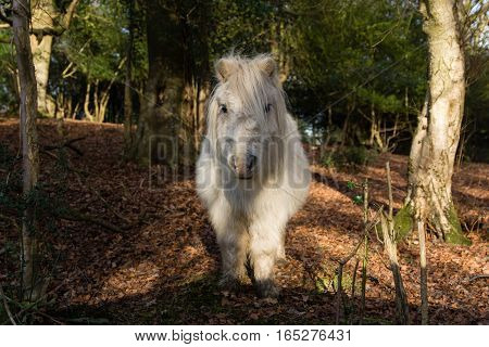 White New Forest pony in woodland, head on. Wild horse roaming freely in National Park in south of England UK