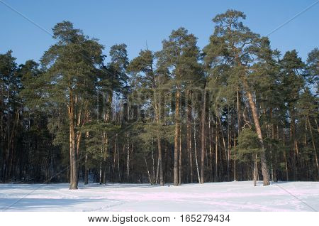 Beautiful winter landscape with high winter pine in deep forest in snow under blue cloudless sky