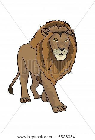 The large lion tawny-colored  is walking on a white background.