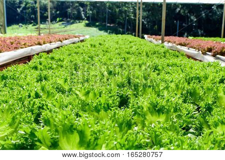 Hydroponics green and purple Vegetable row in garden the nutrition in the future