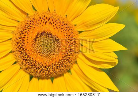 Sunflowers bloom in garden on the autumn. Seed of sunflowers have extracted oil use improve skin health and regeneration.