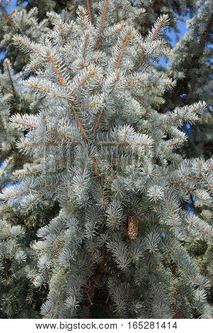 fir, spruce, branch, branches, thick, tree, trees, nature, outdoor, clear, cloud, clouds, coniferous, needle, needles, tree, green, flora, forest, many, lot, white, brown