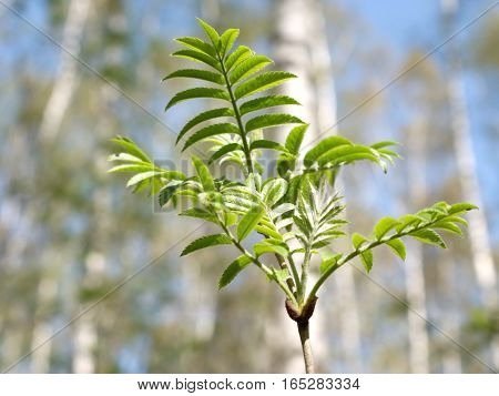Single tree branch with green leaves sloseup