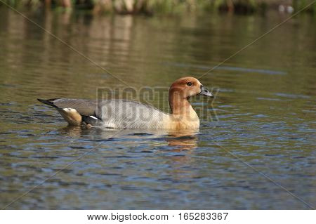 Among animals there may be crosses between species causing hybrids. In this case we have an hybrid between Egyptian Goose (Alopochen aegyptiacus) and Ruddy Shelduck (Tadorna ferruginea)?